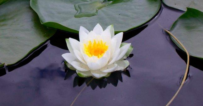 Flor de Loto, significado
